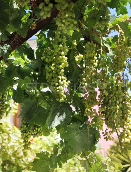 Fresh green grapevine growing Stock photo © Anterovium