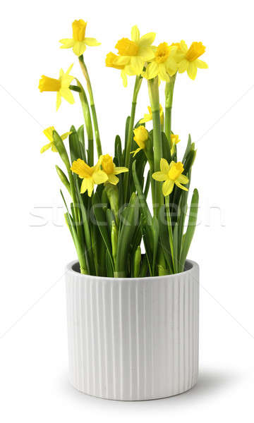 Narcissus pot Stock photo © Anterovium