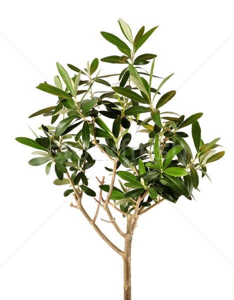 Jonge olijfboom weelderig geïsoleerd witte Stockfoto © Anterovium
