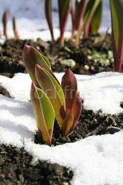 Growth through snow Stock photo © Anterovium