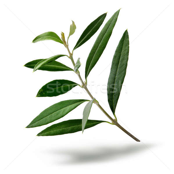 Fresh olive tree branch Stock photo © Anterovium