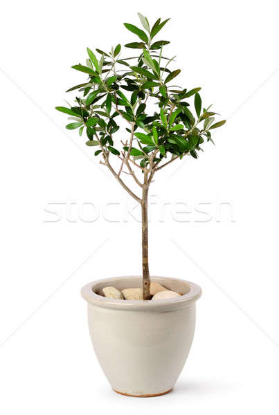 Young olive tree in pot Stock photo © Anterovium