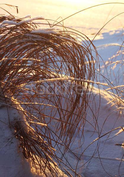 Frozen reeds and hay, winter concept Stock photo © Anterovium