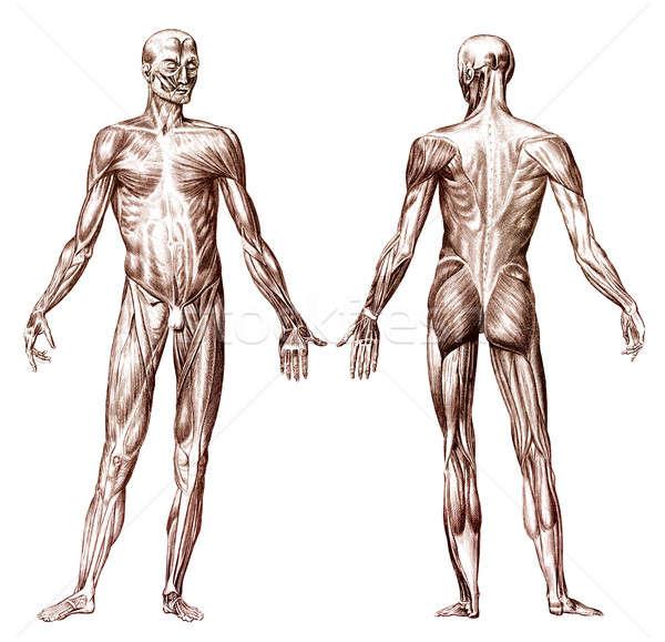 人間 筋肉の 古い 彫刻 人体解剖学 医療 ストックフォト © Anterovium