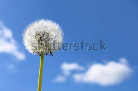 Dandelion seeds Stock photo © Anterovium