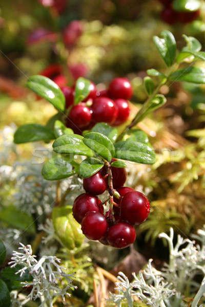 Fresh red cranberries Stock photo © Anterovium