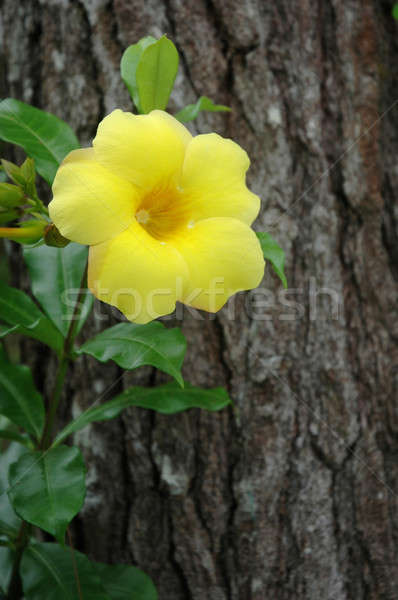 Stock fotó: Arany · trombita · gyönyörű · sárga · virág · szőlő · virág