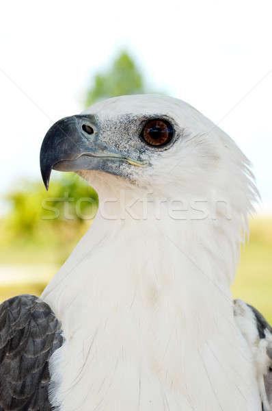 white eagle Stock photo © antonihalim