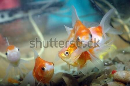 Aranyhal akvárium hal szépség óceán kék Stock fotó © antonihalim