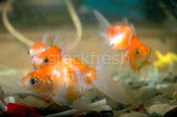 Goldfish acquario pesce bellezza Ocean blu Foto d'archivio © antonihalim