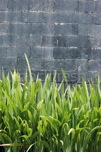 concrete wall with green plants Stock photo © antonihalim