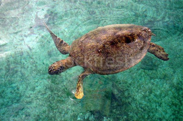 turtle Stock photo © antonihalim
