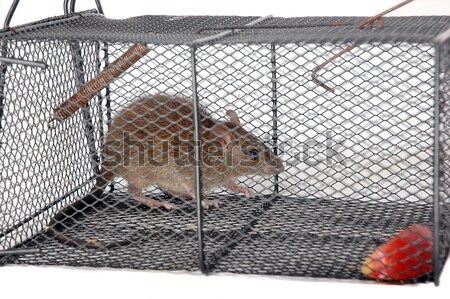 a rat in a metal trap Stock photo © antonihalim