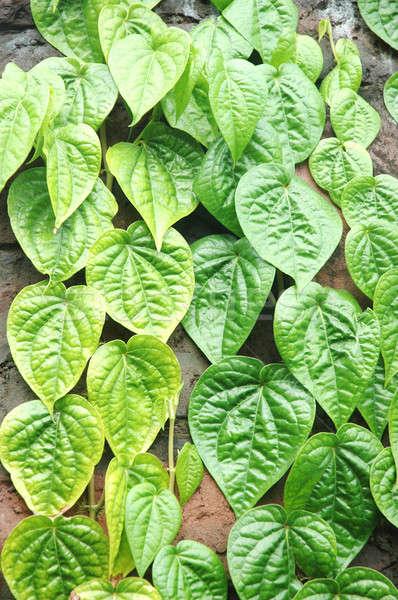 ストックフォト: 緑色の葉 · 春 · 壁 · 抽象的な · 葉 · 背景