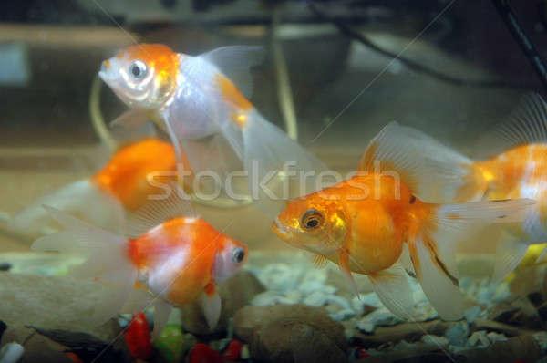 goldfish  Stock photo © antonihalim