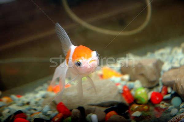 Goldfisch Aquarium Fisch Schönheit Ozean blau Stock foto © antonihalim