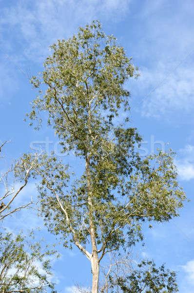Kilátás fák tavasz erdő természet levél Stock fotó © antonihalim