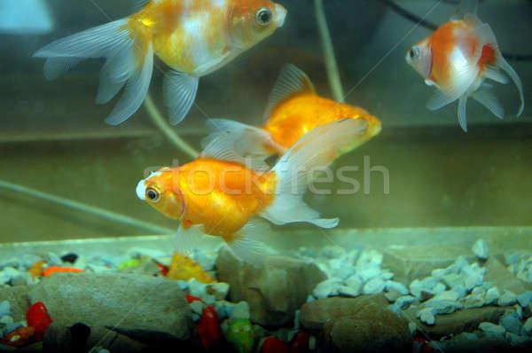 金魚 水族館 魚 美 海 青 ストックフォト © antonihalim