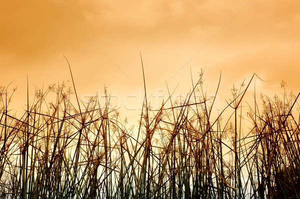 desert grass Stock photo © antonihalim