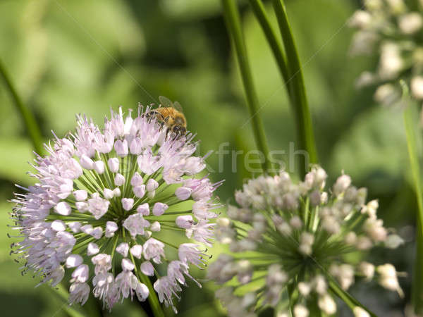 Collector bee Stock photo © antonprado