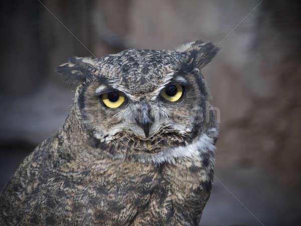 Sowa cichy kamery twarz ptaków Zdjęcia stock © antonprado
