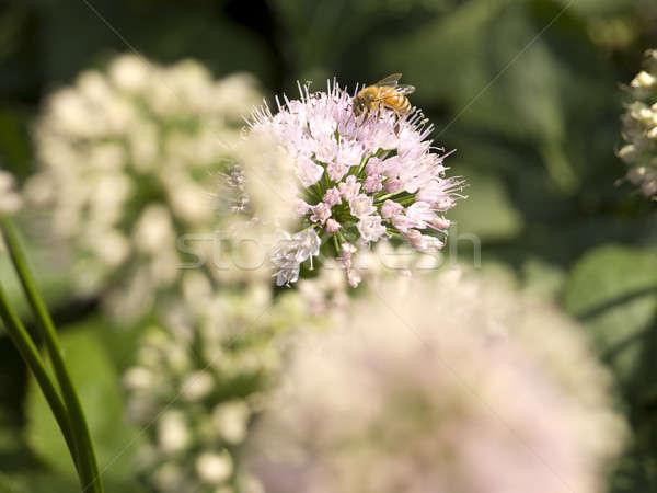 Verzamelaar bee verzamelen stuifmeel voorjaar voedsel Stockfoto © antonprado