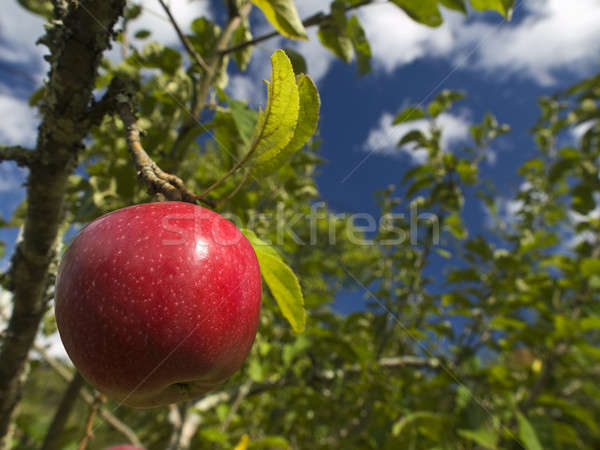 Apple tree Stock photo © antonprado
