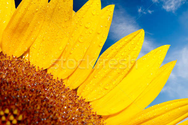 Sunflower on a background of the cloudy blue sky  Stock photo © arcoss