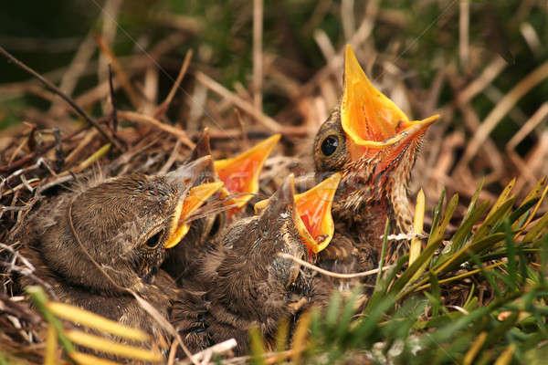 Pardal ninho família grupo pena aves Foto stock © arcoss