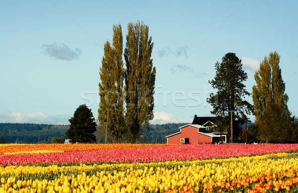 Tulip field Stock photo © aremafoto
