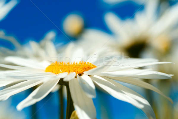 Daisies Stock photo © aremafoto
