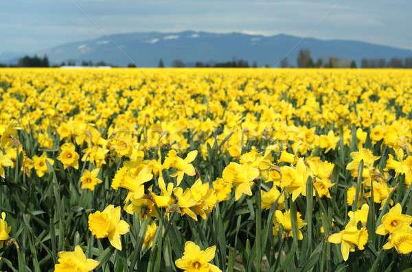 Stockfoto: Geel · narcissen · veld · bloemen · voorjaar · natuur