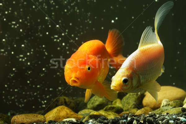 Akvaryum balığı iki evcil hayvan akvaryum çift turuncu Stok fotoğraf © aremafoto