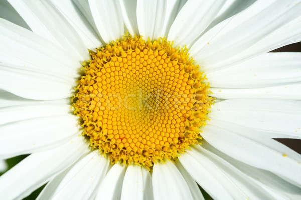 Daisy Stock photo © aremafoto