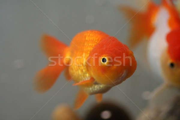 Löwen Kopf Goldfisch orange Gold Stock foto © aremafoto