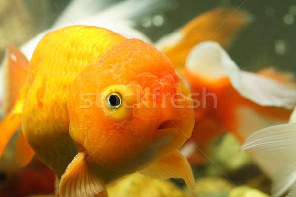 лев голову Goldfish оранжевый животного Сток-фото © aremafoto