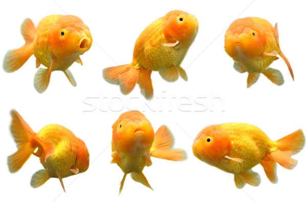 金魚 ショット 6 異なる ライオン 頭 ストックフォト © aremafoto