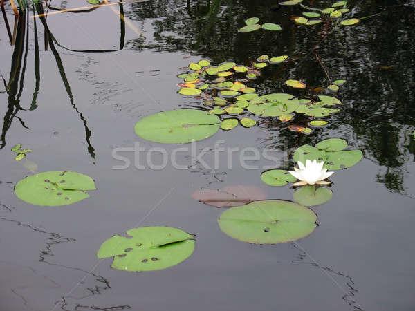 lotus flower Stock photo © ArenaCreative