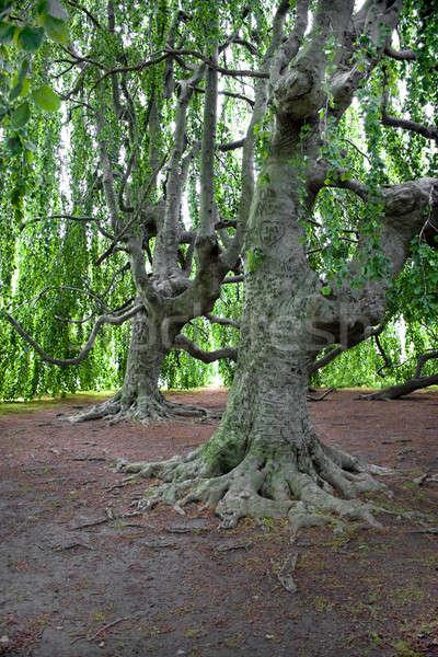 Very Old Trees Stock photo © ArenaCreative
