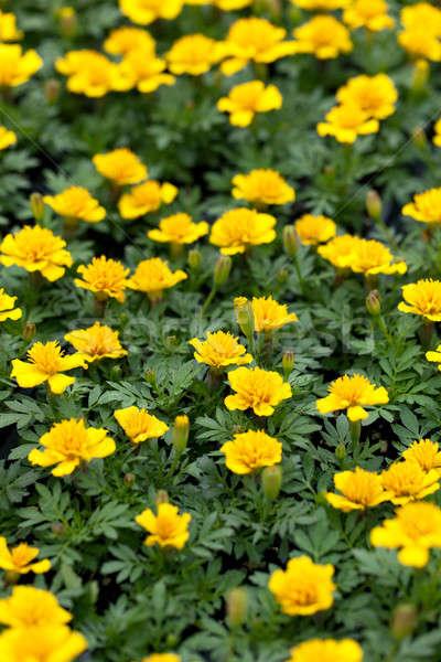 Marigold Flowers Closeup Stock photo © arenacreative