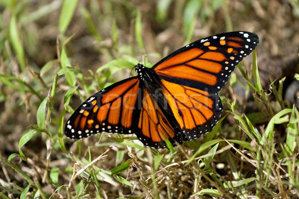 Monarch Butterfly Stock photo © ArenaCreative