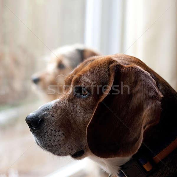 Stok fotoğraf: Köpekler · ayırma · kaygı · iki · bakıyor · dışarı
