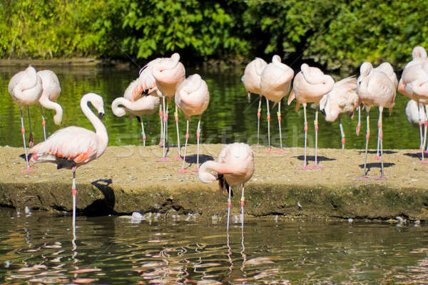 Flamingo Birds Stock photo © ArenaCreative
