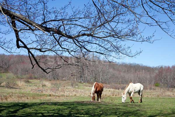 Beautiful Horses Grazing Stock photo © ArenaCreative