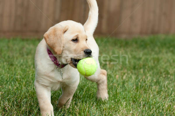 Yellow Lab Puppy Playing with a Tennis Ball Stock photo © ArenaCreative