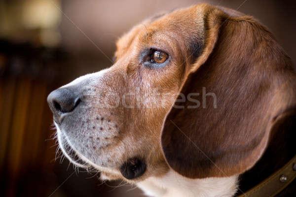 Stok fotoğraf: Bakıyor · tazı · portre · yakışıklı · genç · köpek