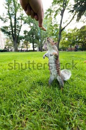 Feeding a wild squirrel Stock photo © arenacreative