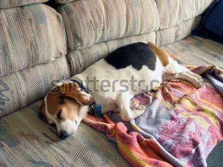 怠惰な ビーグル 寝 ソファ 犬 病気 ストックフォト © ArenaCreative