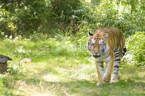 Bengáli tigris bősz természetes fa szem Stock fotó © ArenaCreative