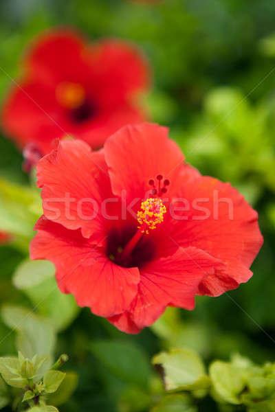 Kırmızı ebegümeci çiçek büyüyen tropical island bahçe Stok fotoğraf © ArenaCreative